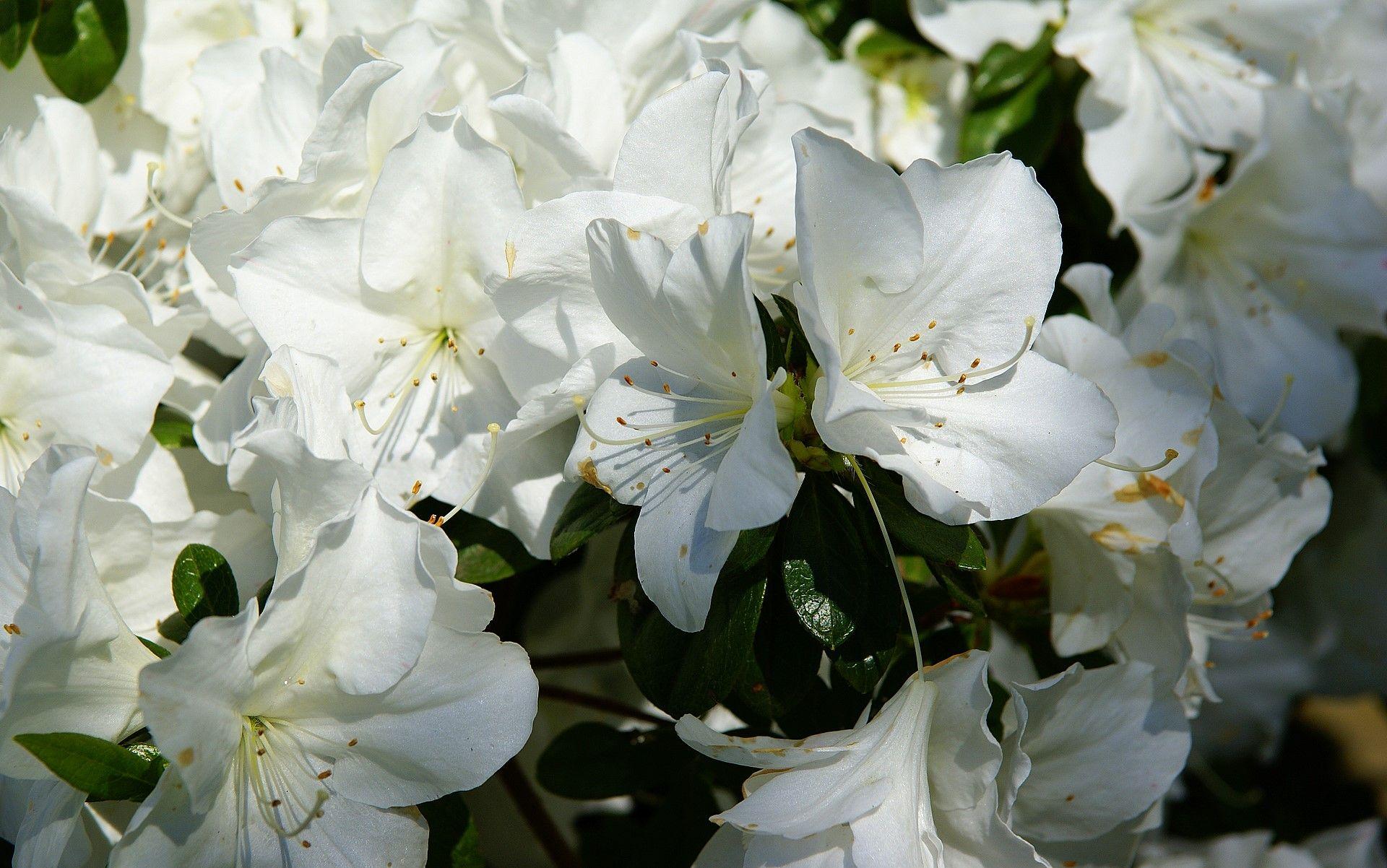 Pin By Jo Belfiore On White White Azalea Azalea Flower Azaleas