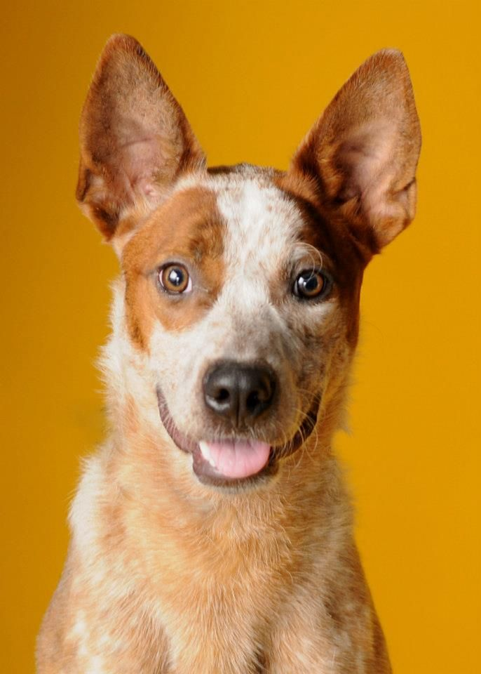 Australian Cattle Dog. Available for adoption HHHS