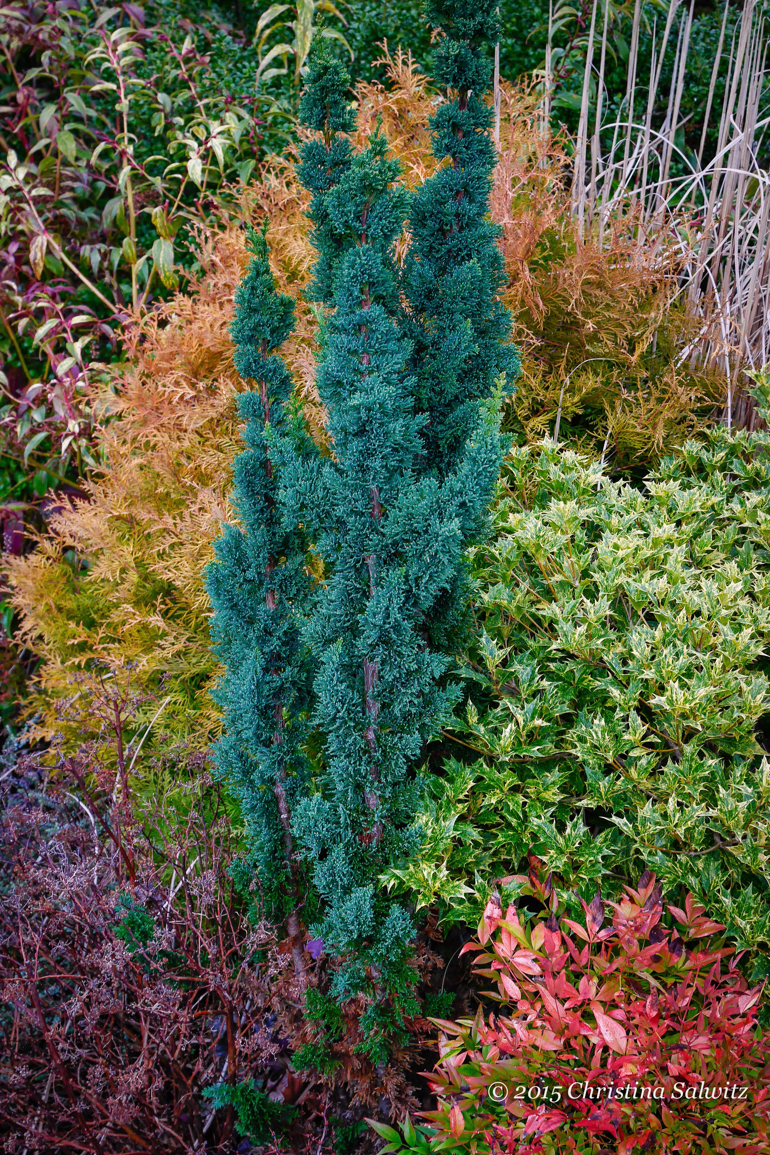 Start Shopping for Collectors Conifers Now for the Landscape!