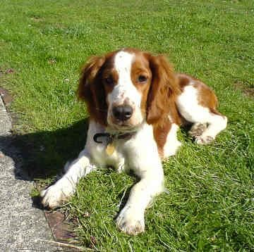 Welsh Springer Spaniel Welsh Springer Spaniel Puppies Dog Breeds Springer Spaniel Puppies