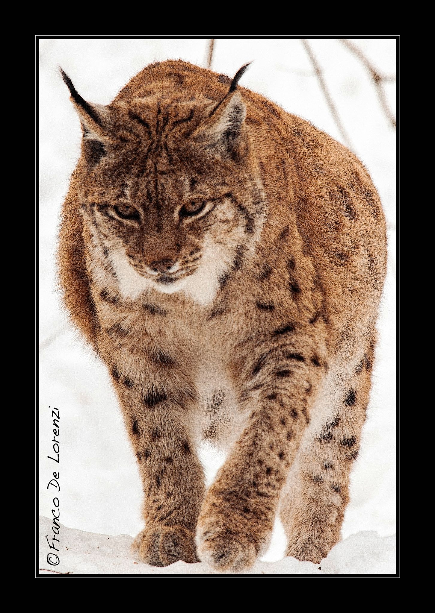linx A female linx moving in the snow (With images