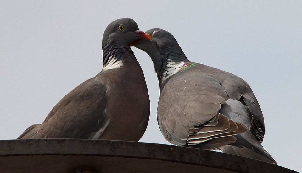 How To Get Rid Of Pigeons From Your Property Using Humane Methods Love Images Get Rid Of Pigeons Pigeon Eyes
