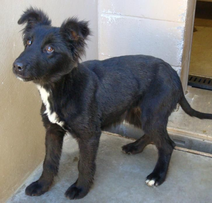 Adopt California Red Bluff Needs Foster Ozzy On Anatolian