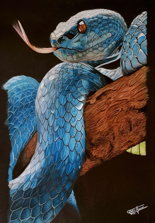Le Serpent Bleu Mon Dessin Est Enfin Termine Un Trimeresurus