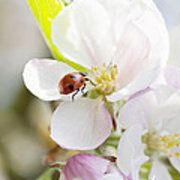 Ladybug On Spring Blossom Poster by Gillian Dernie