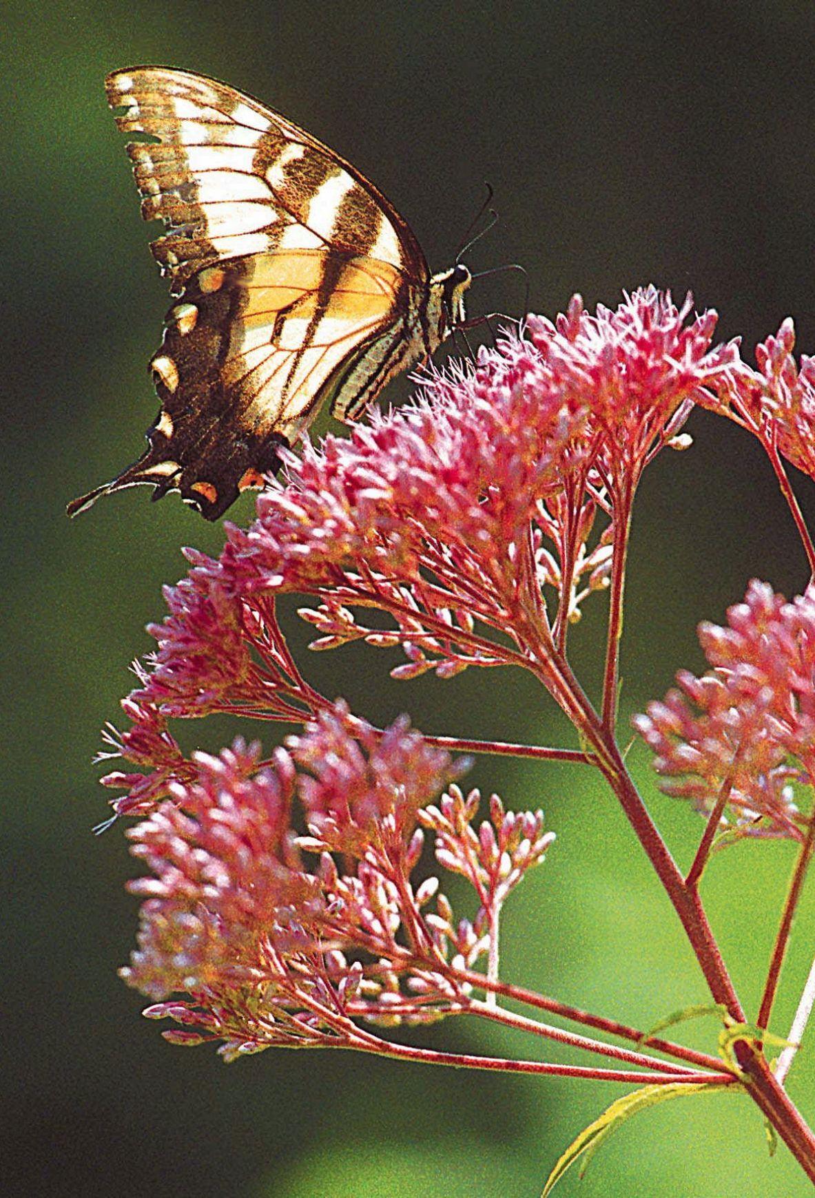 Create a garden for monarchs butterfly plants milkweed