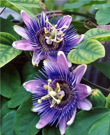 One Of My All Time Favorite Flowers Love The Smell And All The Pretty Butterflies They Attract Passion Flower Wild Flowers Flowers