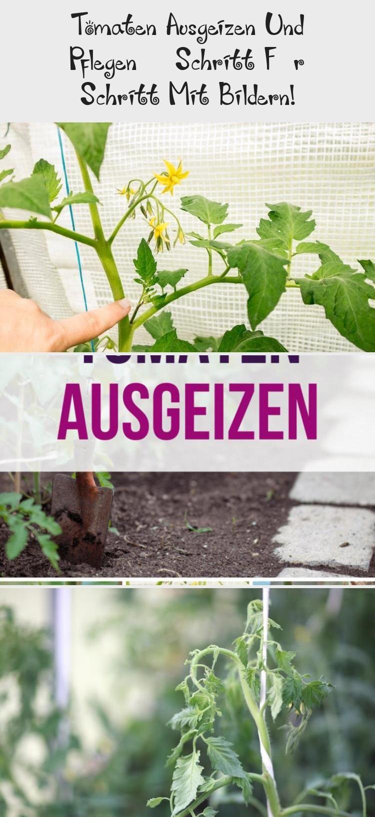 Tomaten Ausgeizen Und Pflegen Schritt Fur Schritt Mit Bildern Wenn Du Tomaten Pflanzen Und Anbaut Mochtest Egal Ob Im Gemusegarten T In 2020 Plants Pictures Herbs