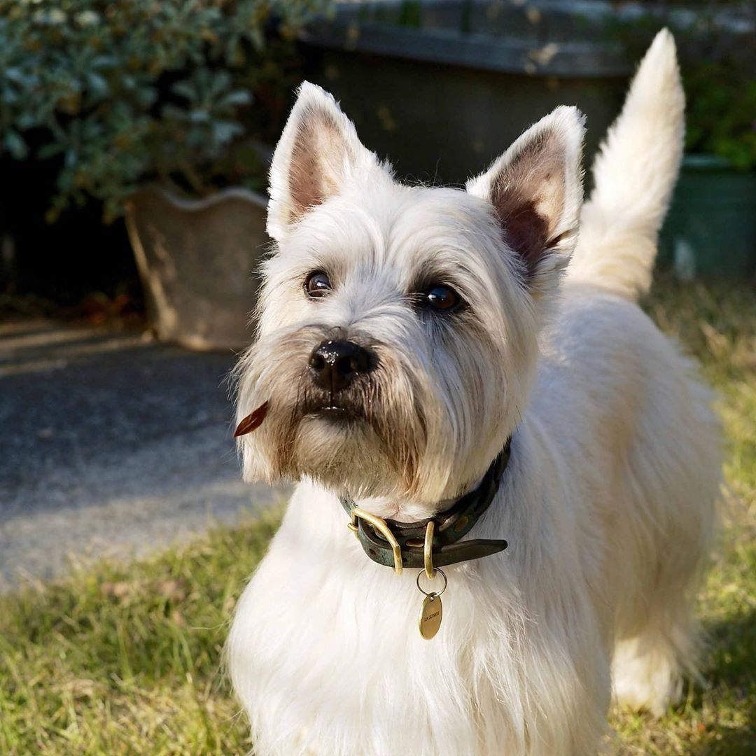 Pin By Martha Watson On Cairn Crazy Cairn Terrier Cute Animals