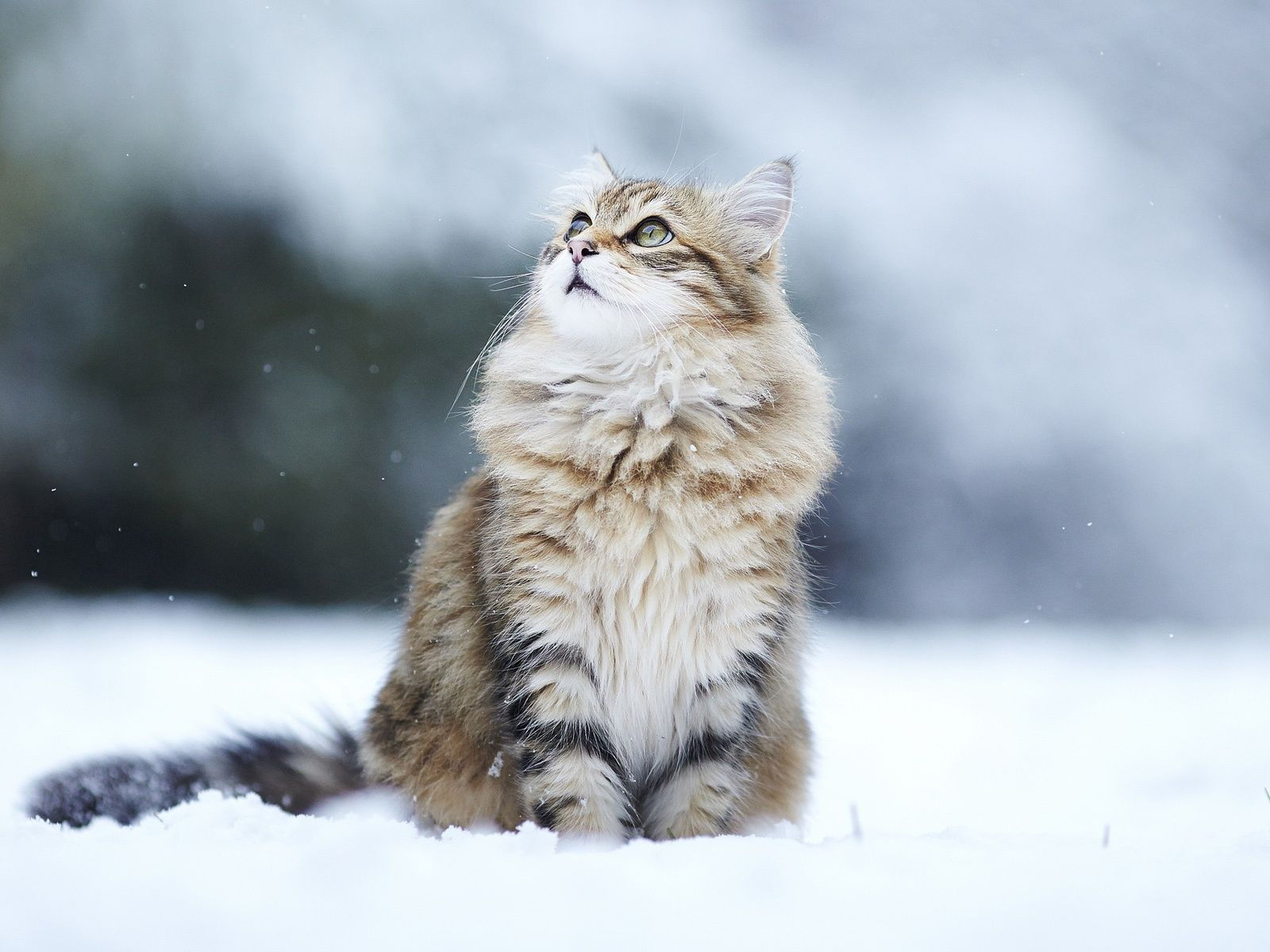 Norwegian Forest Cat Photo chat, Beaux chats, Photo animaux