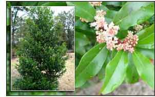 Cherry Laurel - just bought 2 for my yard ;)