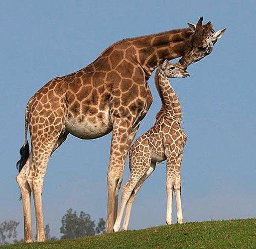 Küssen der Giraffen