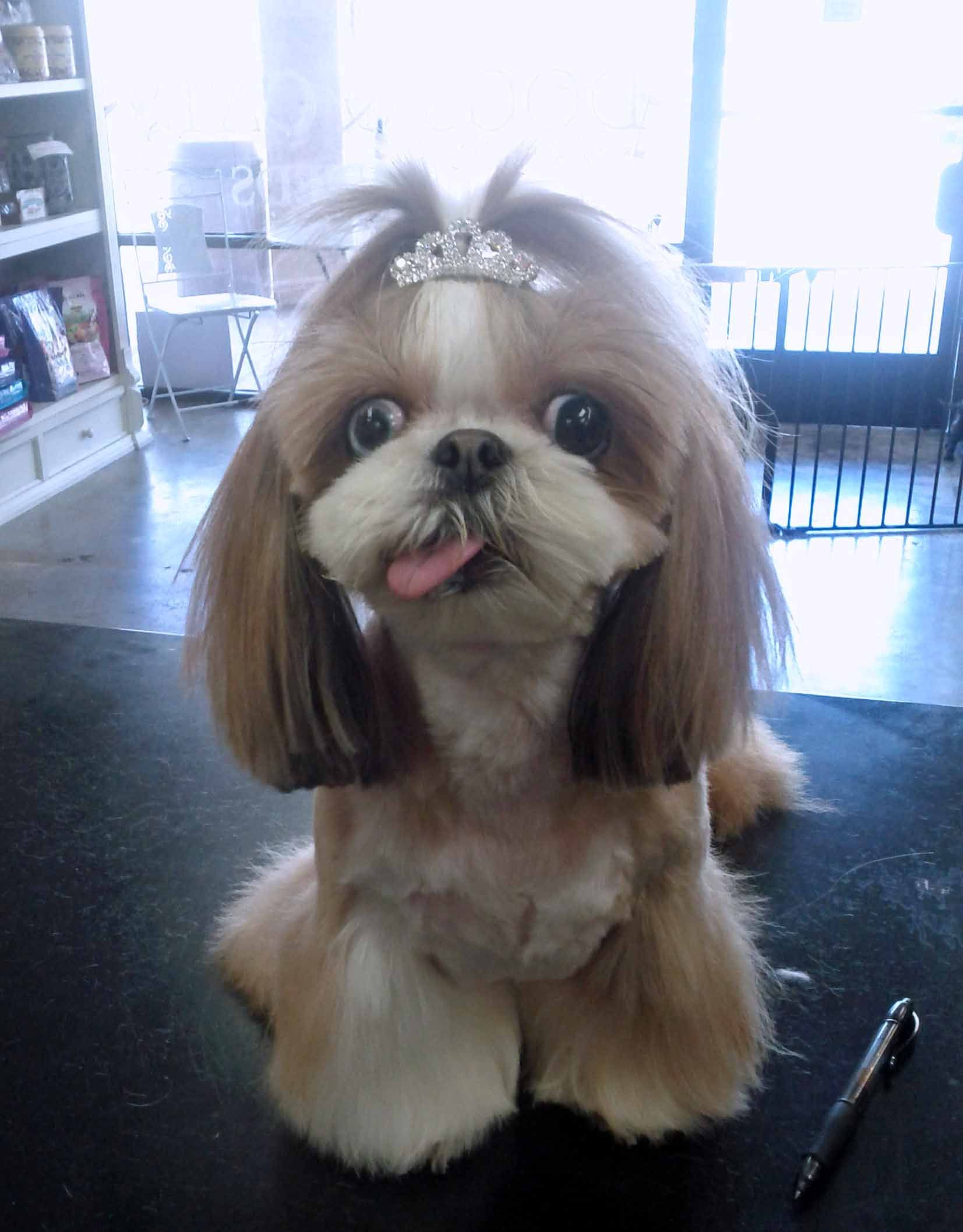 This Is Princess Kimmy She Is A Shih Tzu Her Tongue Is Always