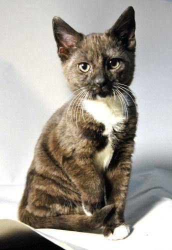 Jaguar A Sweet Kitten Up For Adoption In Madison Nj Sthuberts Org Pet Adoption Dog Adoption Cat Shelter