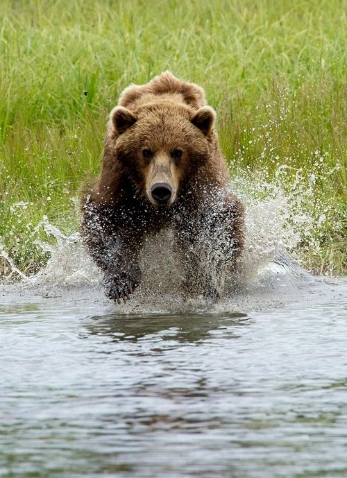 Coastal Brown Bear in Katmai National Park. He's coming for that photographer.