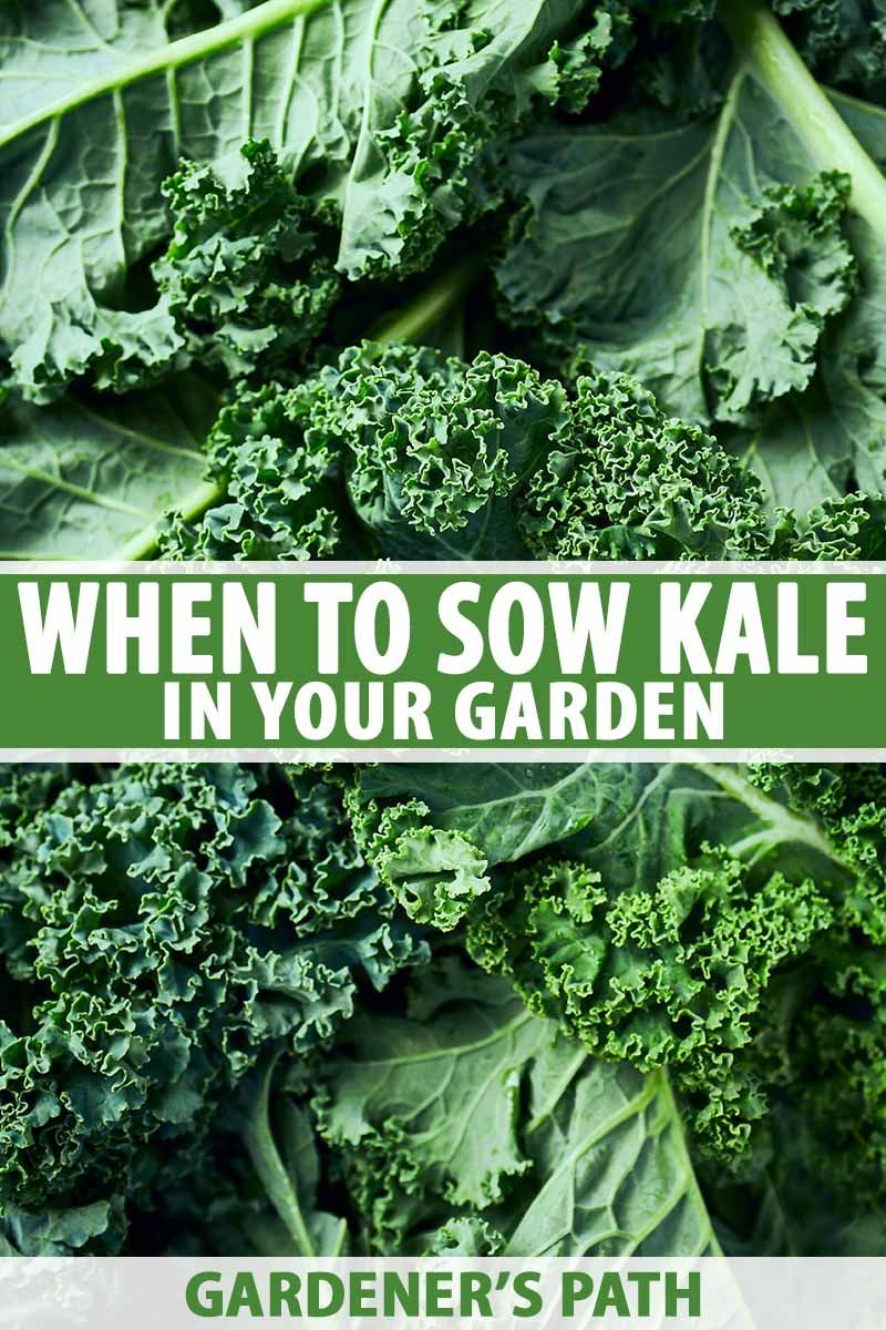 What Month Should You Sow Kale With Images Growing Kale