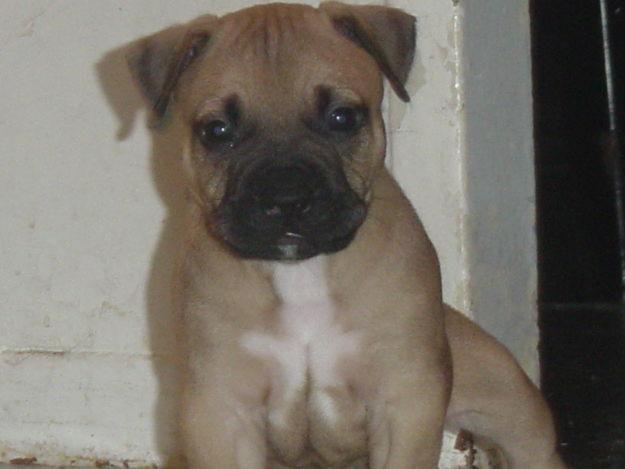 Pitbull Pug Mix Pug Mixed Breeds