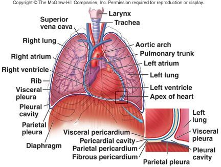 anatomy of diaphragm muscle - Google Search | ANATOMY | Pinterest ...