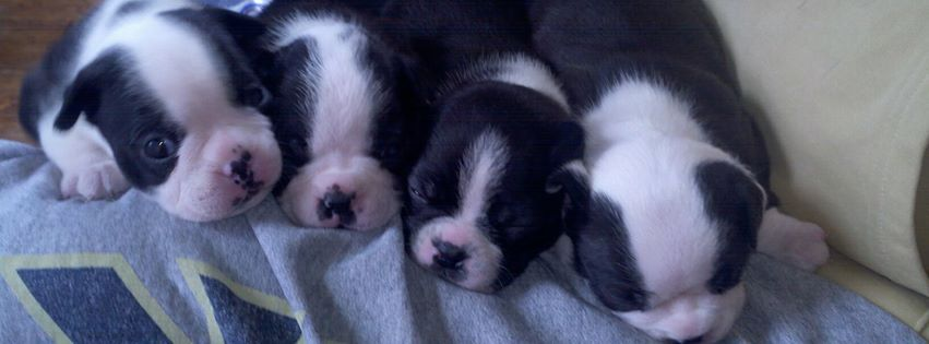 Miniature Boston Terrier Puppy Here is why I love Boston Terrier