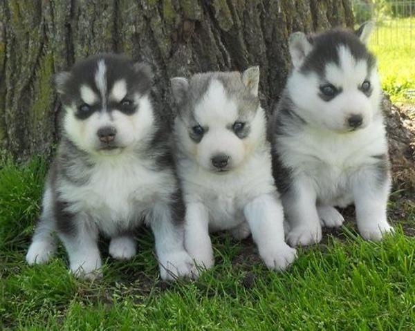 Alaskan Husky Puppies For Sale Zoe Fans Blog Husky Puppies For Sale Husky Puppy Puppies