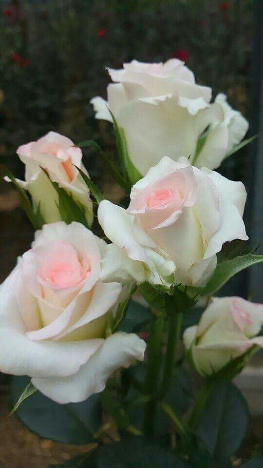 white roses, lovely soft pink at the center | Beautiful flowers ...
