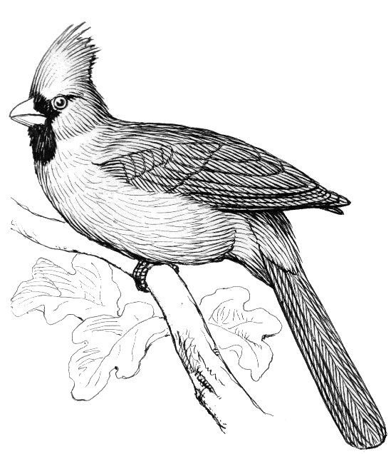 Coloring Books Cardinal Line Drawing