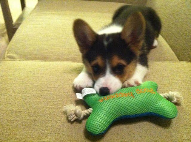 A Dor A Ble Corgi Cute Corgi Puppy