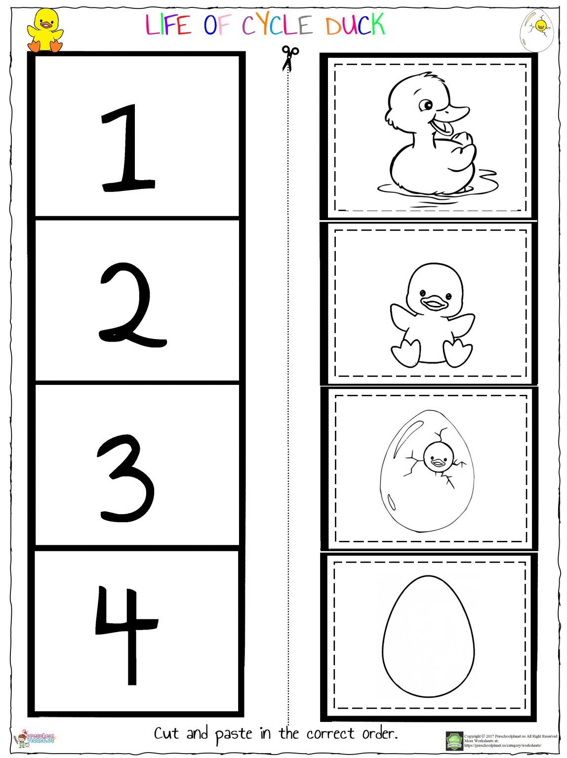 Life Of Cycle Duck Worksheet Preschoolplanet In
