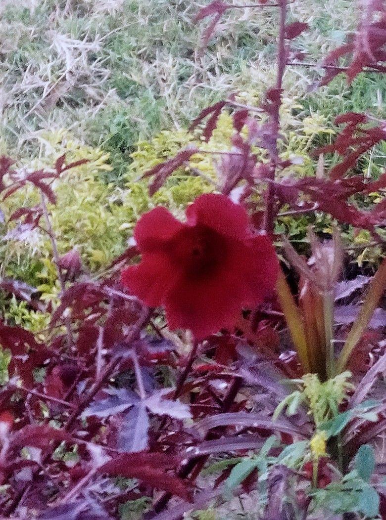 False Rosellecranberry Hibiscusred Leaf Hibiscusred Shield
