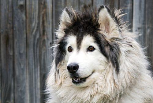 Long Haired Malamute Alaskan Malamute Malamute Large Dog Breeds