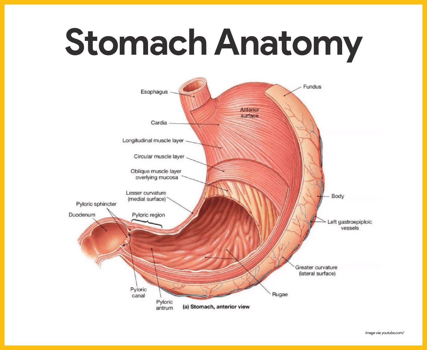 Stomach Diagram Anatomy Stomach Diagram Anatomy Digestive System Anatomy And Physiology Nurseslabs Digestive System Anatomy Anatomy Physiology Stomach Diagram