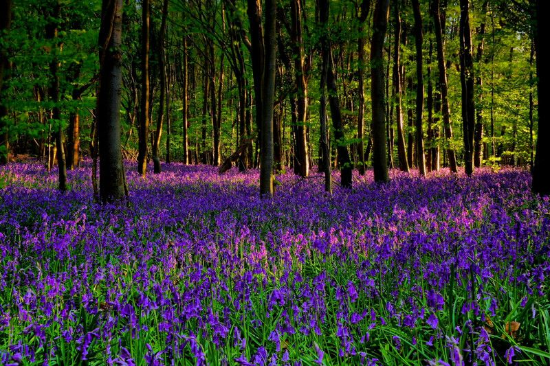 Image result for bluebell woods sussex
