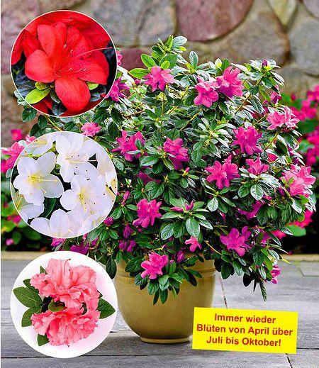 Durchbluhende Azaleen Bloom A Thon 4 Farben 4 Pflanzen Pflanzen Azaleen Immergrune Pflanzen