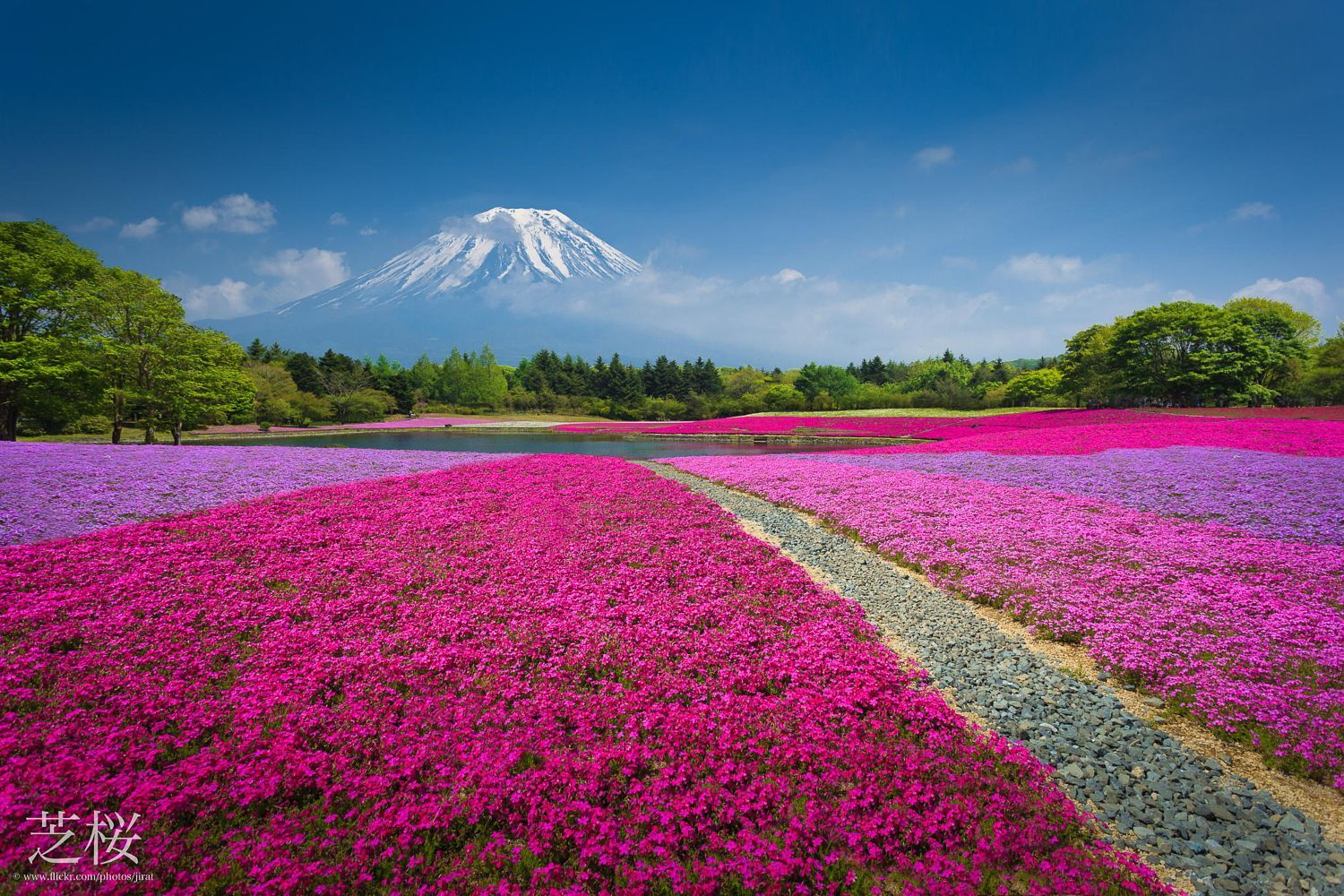 Mountain Fuji With The Field Of Pink Moss Cherry Blossom In Japan By