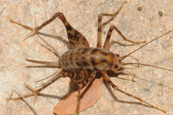 Gallery For Cave Cricket Size Cricket Cave Image