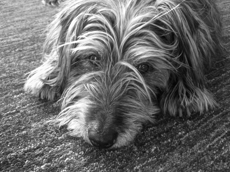 Miniature Irish Wolfhound