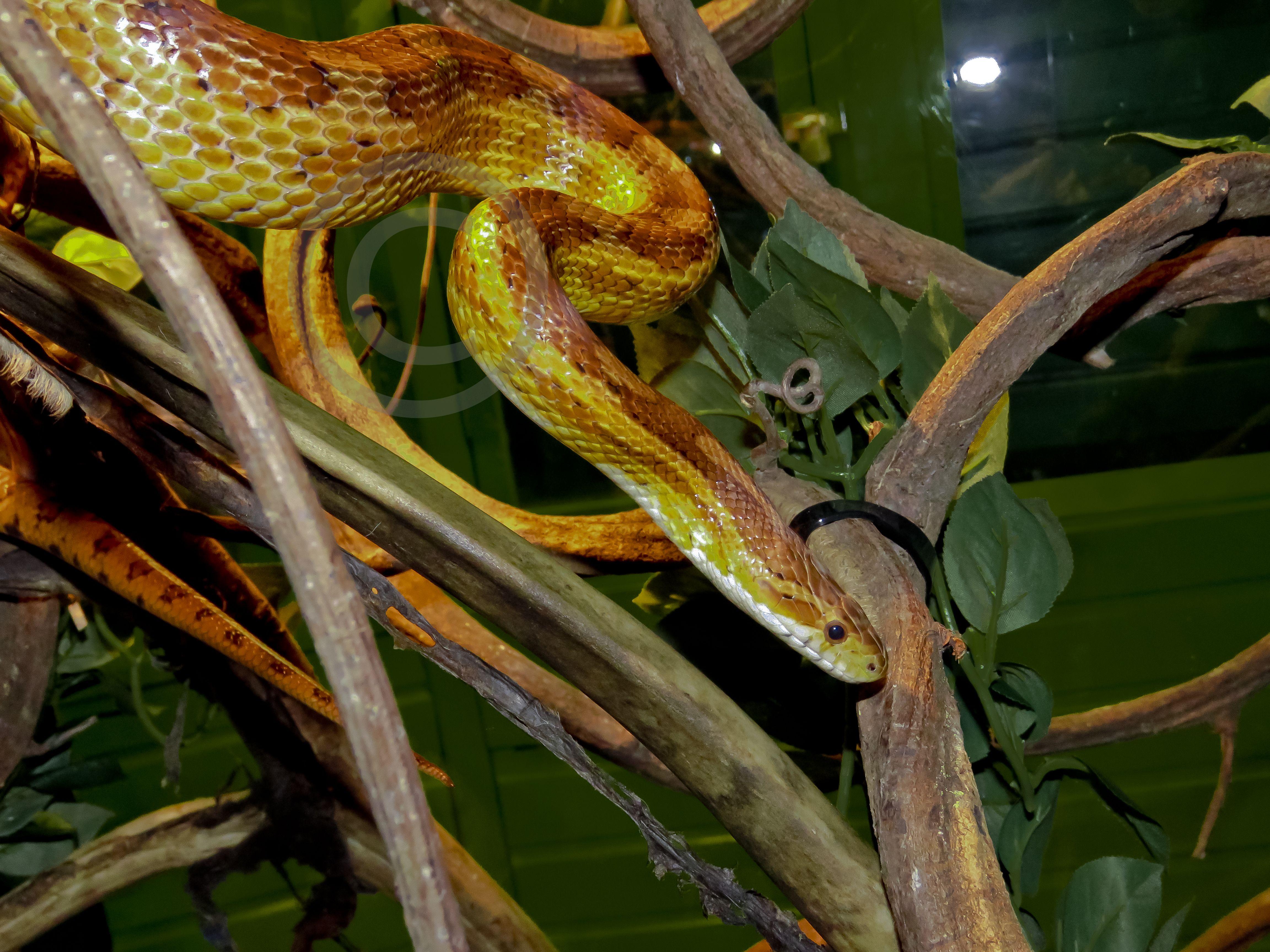 Corn Snake Corn snake, Pets, Natural world