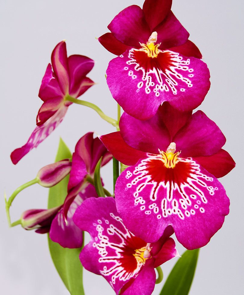 Viooltjesorchidee ured tideu grow pinterest orchid plants