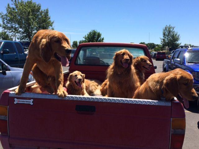 Ran into this truckload of Golden Retreivers (5) in the Walmart