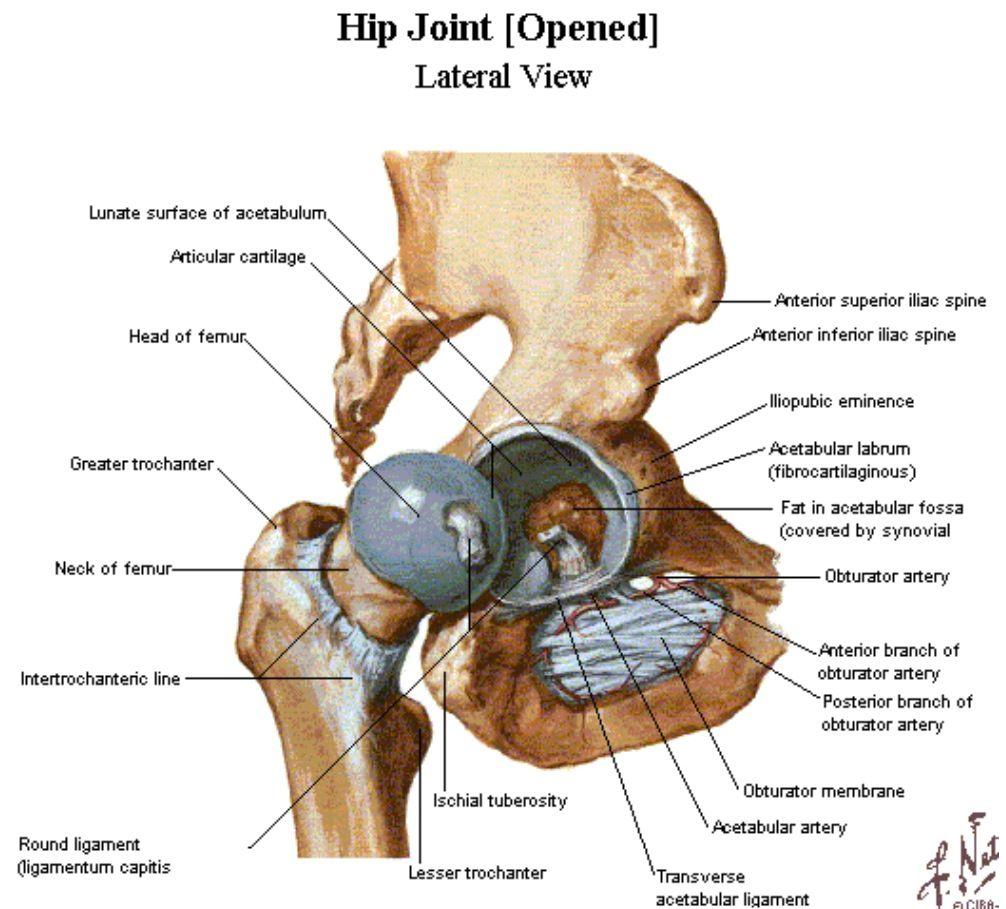 Awesome Hip Anatomy Labrum Motif - Human Anatomy Images ...