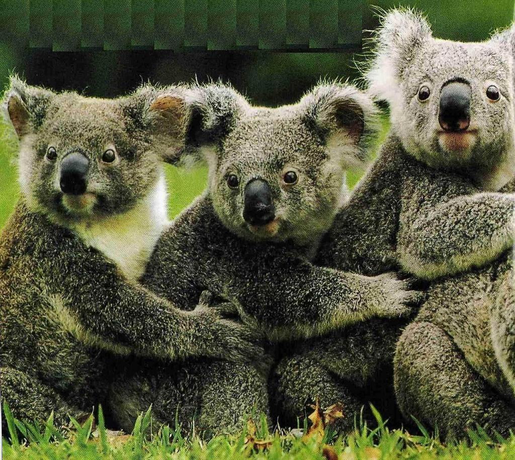 Koala Bear Home Koala Bear Koala Bears Animal Pictures Pics And Animal Wallpapers Koala Bear Koala Bear Funny Bear Stuffed Animal