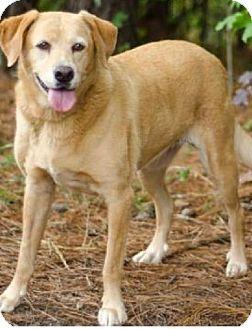 Rockaway, NJ Labrador Retriever. Meet Sunflower a Dog