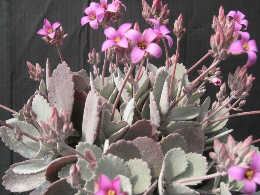 Kalanchoe pumila – Flower Dust Plant - See more at: http://worldofsucculents.com/kalanchoe-pumila-flower-dust-plant