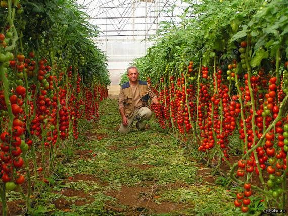 Hot Sale Red Cherry Tomato Plants Time Limited Regular 640 x 480