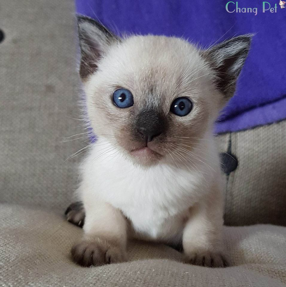 Tonkinese Kittens Tonkinese Cat Tonkinese Mink Tonkinese Names Chocolate Tonkinese Tonkinese Lilac Tonkinese Pla Kittens Cutest Tonkinese Cat Pretty Cats