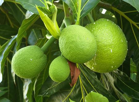 Breadfruit Arvores