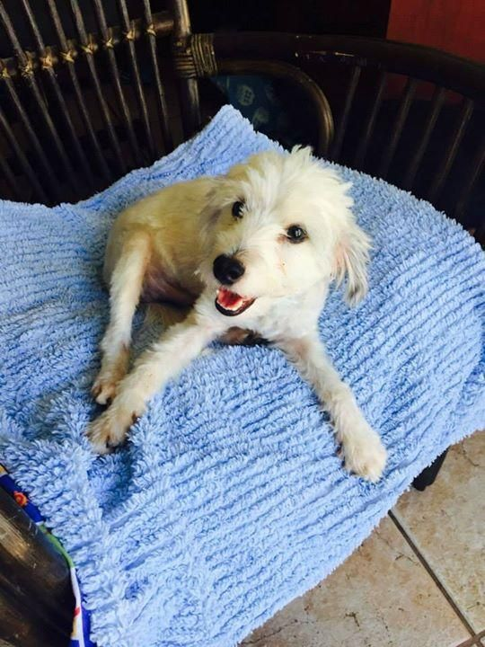 Adopt Zack 1 Yr Old Male Poodle Mix Petco S 50th Anniversary Huge