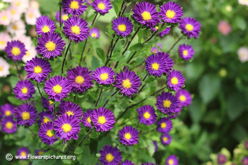 Purple Aster Purple China Aster Pictures 52 Aster Flower Flower Pictures Beautiful Flowers