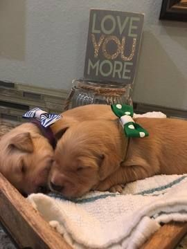 Litter Of 8 Golden Retriever Puppies For Sale In Pryor Ok Adn