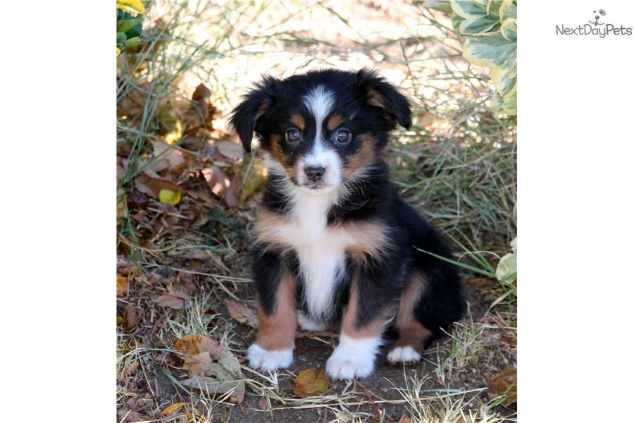 Meet Rider A Cute Miniature Australian Shepherd Puppy For Sale F